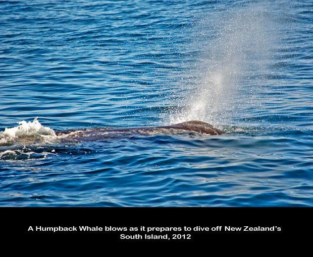 NZ037-Whale-Porpoise-Watching_NZ-1505