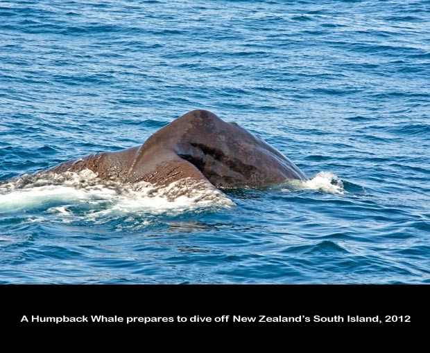 NZ038-Whale-Porpoise-Watching_NZ-1514
