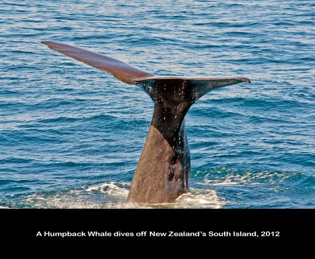 NZ039-Whale-Porpoise-Watching_NZ-1515